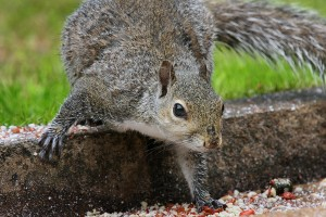 chapel hill nc squirrel removal