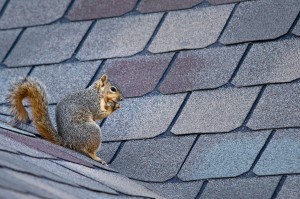 Squirrel removal service chapel hill nc