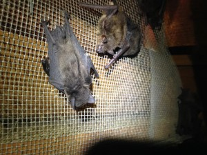 chapel Hill NC bat removal