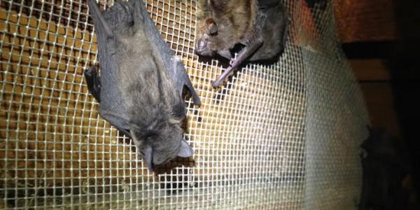 chapel Hill NC bat removal