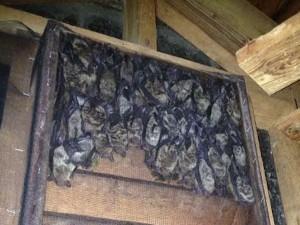 Bat removal in Chapel Hill North carolina
