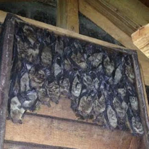 Bat Removal in Chapel Hill NC