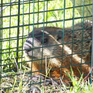 Groundhog Removal in Chapel Hill NC