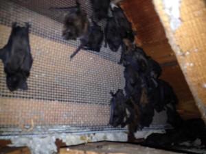 Bat removal in Chapel Hill NC