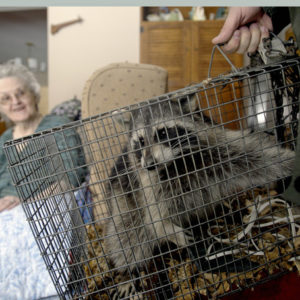 Raccoon Removal in Chapel Hill, NC