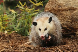 Opossum Removal Services In Chapel Hill NC