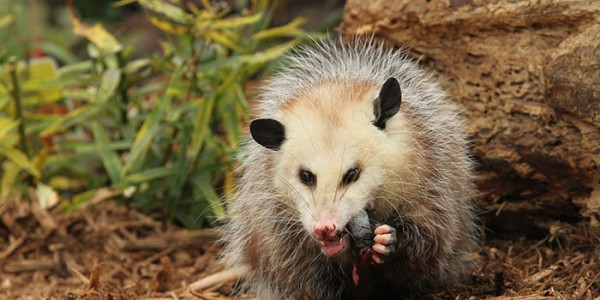 Possum Removal Services In Chapel Hill NC