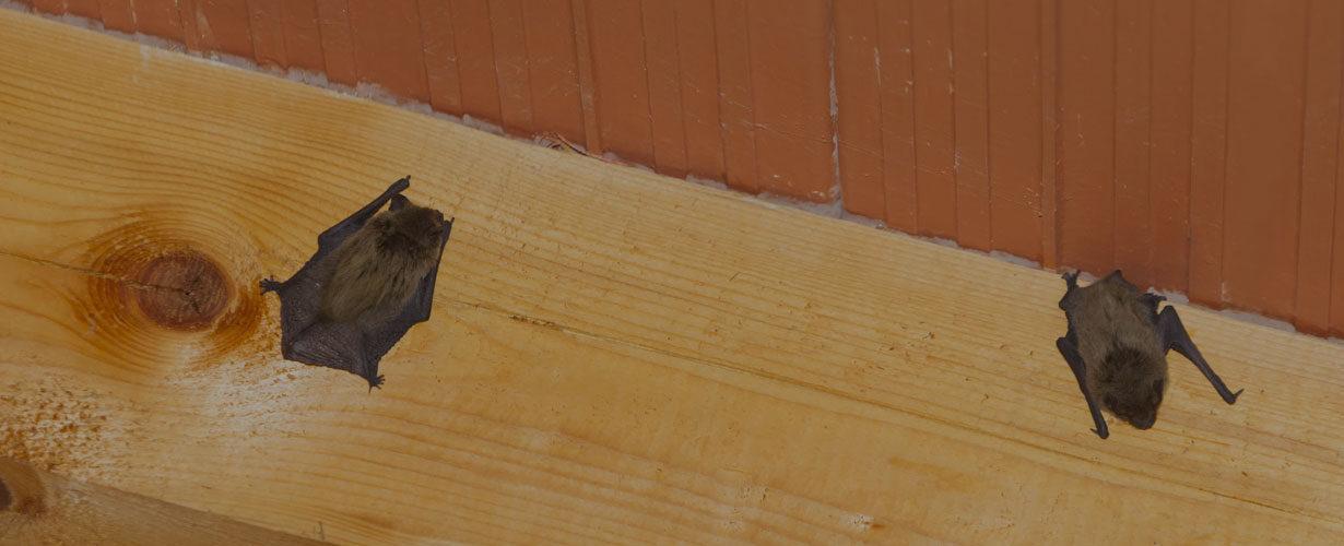 bat-removal-e1597412714335