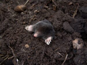 mole trapping services - ASAP Wildlife