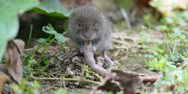 vole removal services - ASAP Wildlife