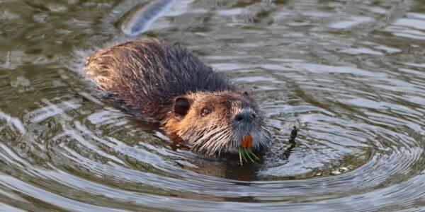 Beaver Control Services - ASAP Wildlife Control
