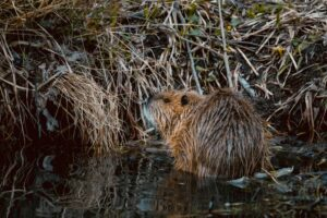 Beaver Removal Services - ASAP Wildlife Control