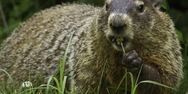 Groundhog removal services - ASAP Wildlife