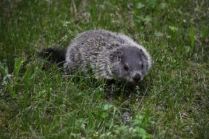 Groundhog trapping services - ASAP Wildlife