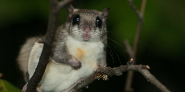 Flying Squirrel Trapping Services