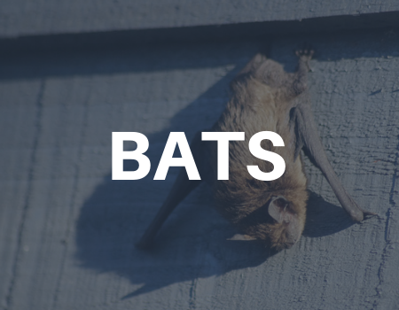 bat removal services