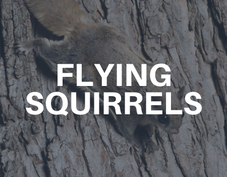 flying squirrel removal services