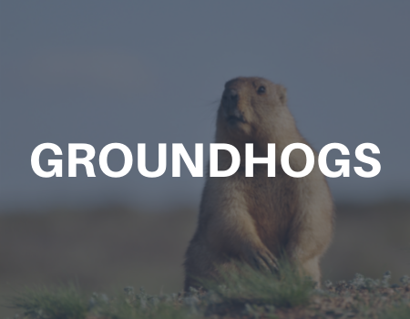 groundhog removal services
