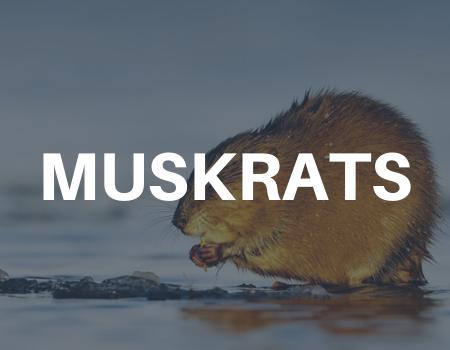 muskrat removal services